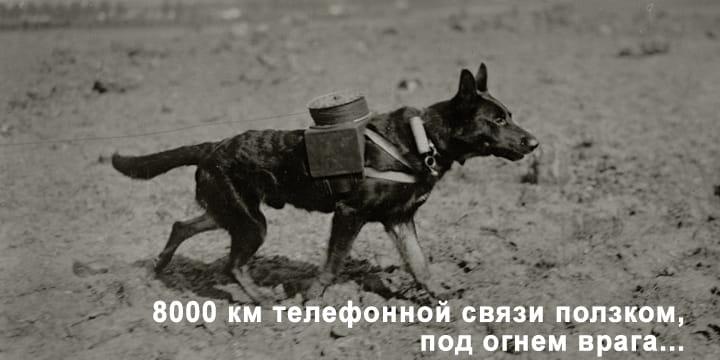 8000 км телефонной связи ползком, под огнем врага...